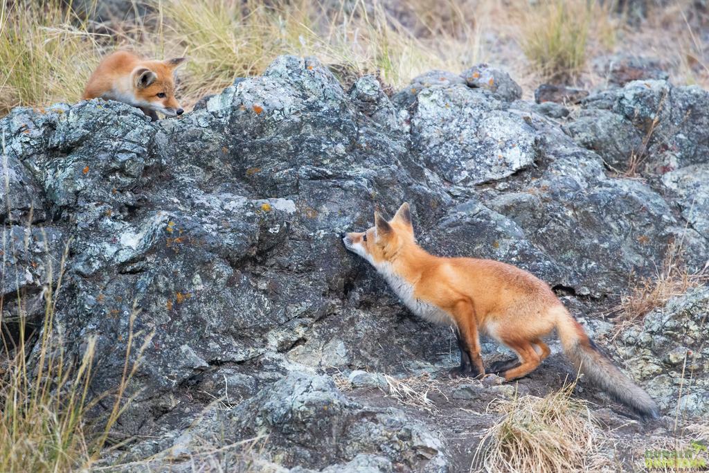Quintana_Red Fox kits at play