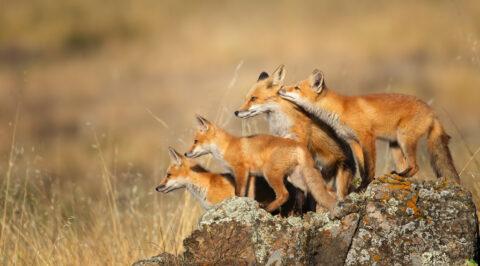 Quintana_Red Fox Family