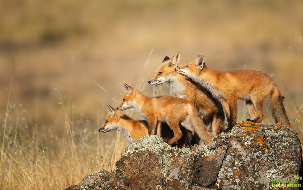 Quintana_Red Fox Family
