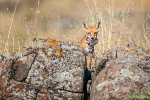 Quintana_Red Fox